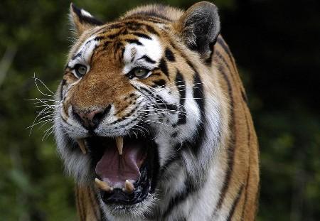 Tigre de Bengala enfadado