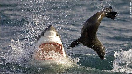 Tiburon y presa