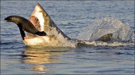 Tiburon atacando
