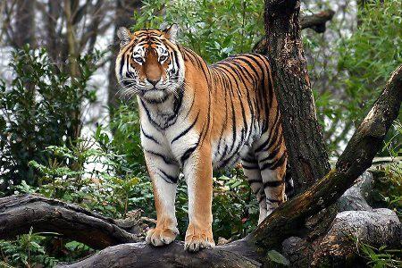 Fotos de animales, tigres