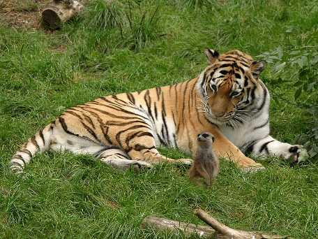 Tigre de Bengala relajado junto a una ardilla