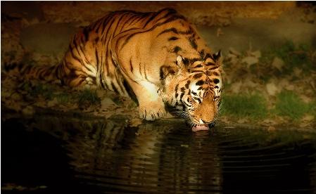 Tigre de Bengala bebiendo agua