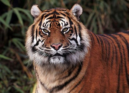 Primer plano de tigre de Bengala