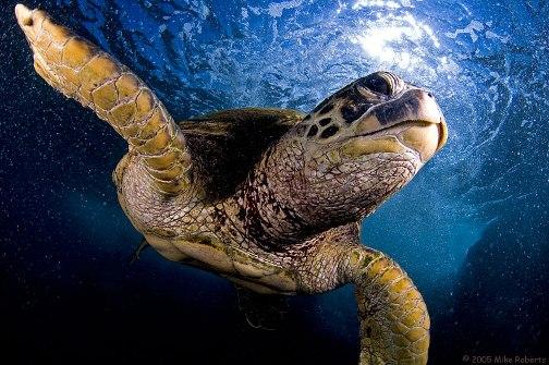 Tortuga bajo el mar por Mike Roberts