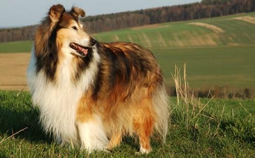 Fotos de perro Lasie