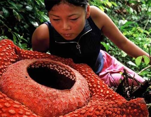 Rafflesia, la mas grande de las flores