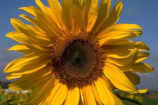 Fotos de girasoles