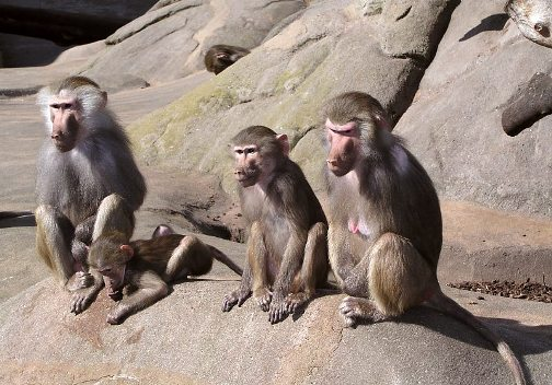 Foto de primate