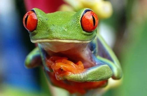 Fotos de Rana de ojos rojos