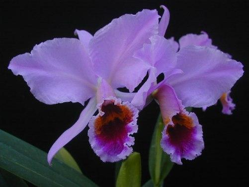 Orquideas Violetas