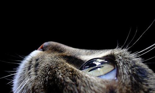 Ojo transparente de gato