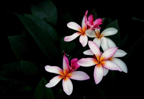 Flores gomeras