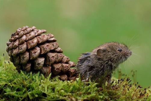 Foto de ratón de campo