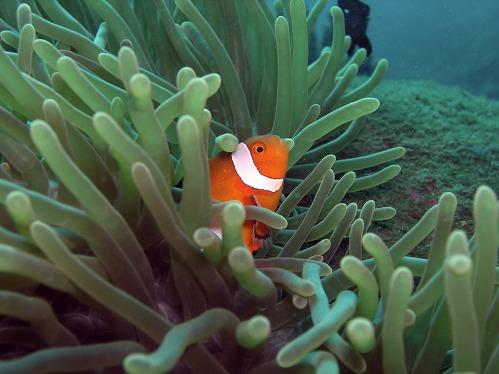 Gracioso pez payaso