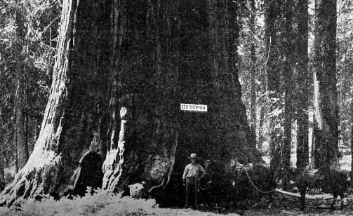 Fotos del General Sherman, la gran secuoya