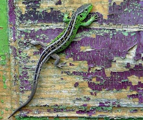 lagarto en camuflaje