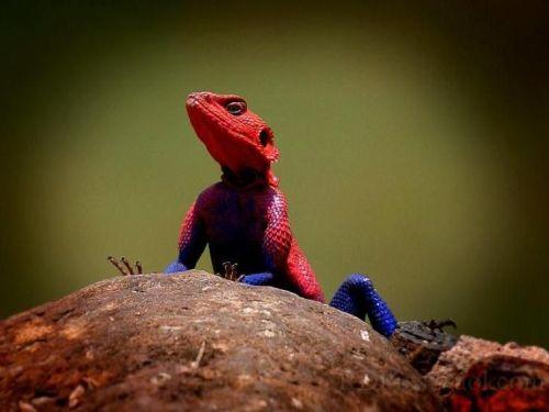 Lagarto Spiderman