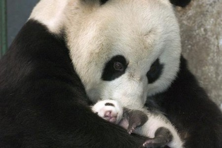 Fotos de osos pandas, ternura animal