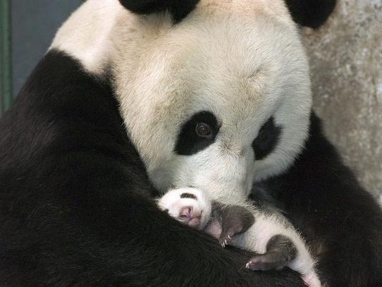 oso panda con osito