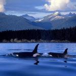 Nadando en libertad en aguas de Canada