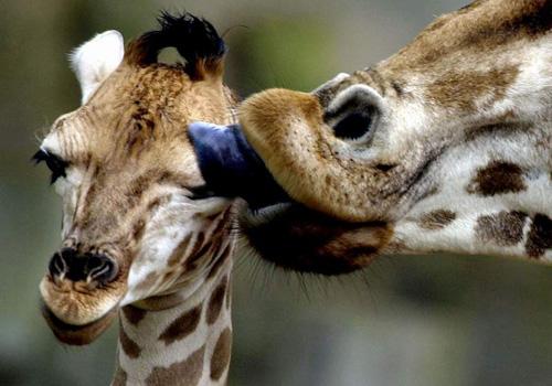 Amor de jirafas