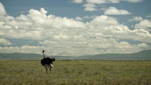 Avestruz en el campo 3
