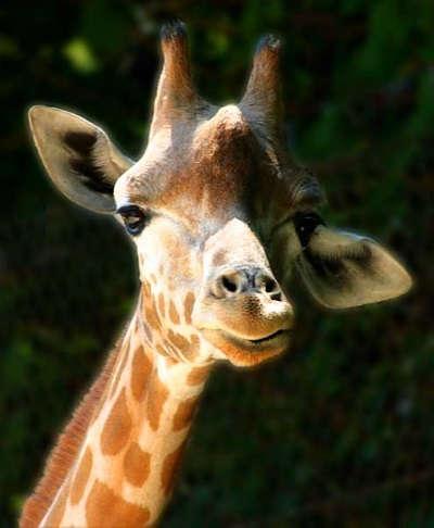 Cabeza de Girafa