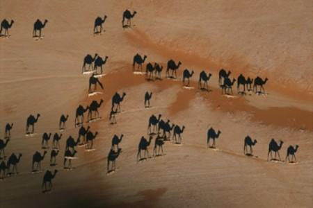 Fotos National Geographic: Camellos en el desierto