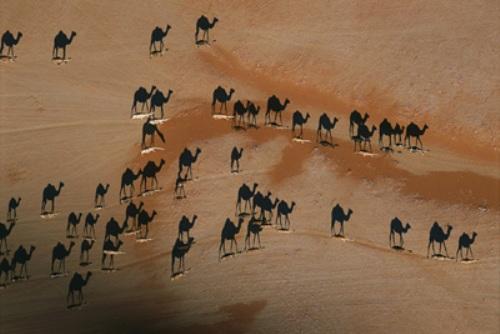 Camellos en la arena