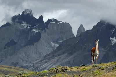 Guanaco en el Parque Nacional Torres del Paine