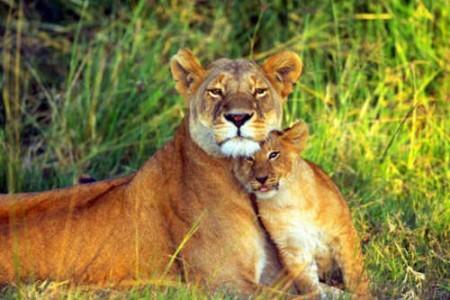 Fotos de animales: leones