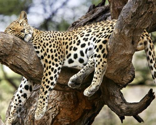 Leopardo durmiendo