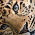 Leopardos, esos tiernos y elegantes animales