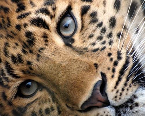 Leopardo, primer plano