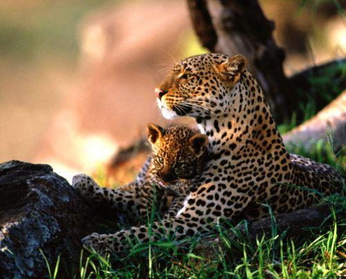 Leopardo y cría