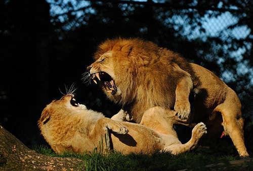 Lucha de leones