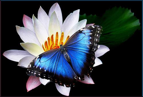 Mariposa azul en flor