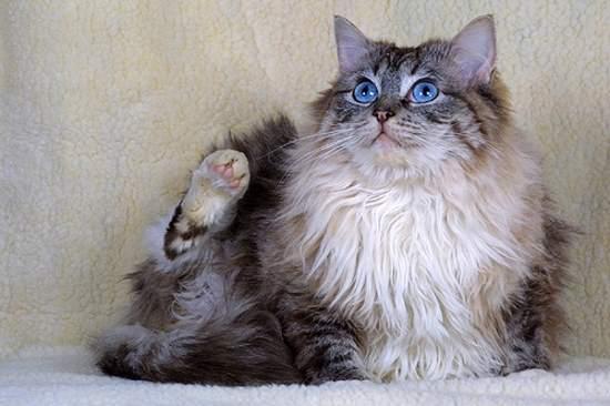 Tierno gatito de pelo largo