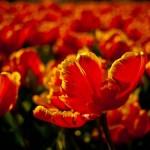 Fotos de tulipanes, belleza y riqueza holandesa