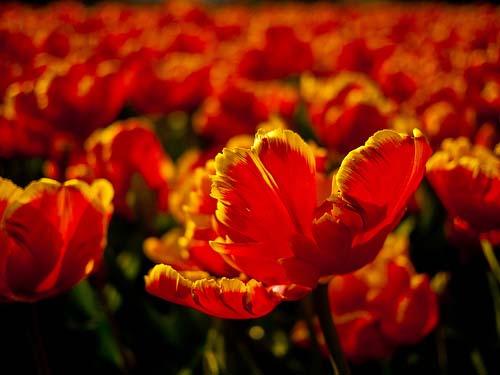 Tulipan de vivos colores