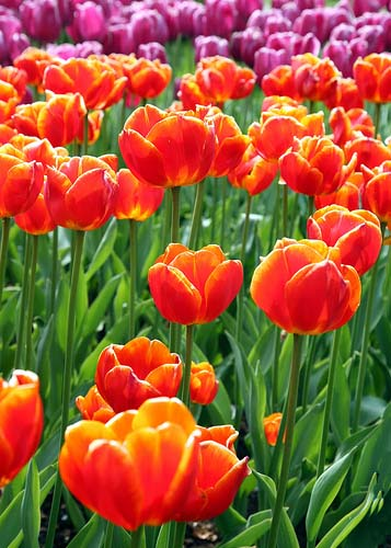 Tulipanes de vivos colores