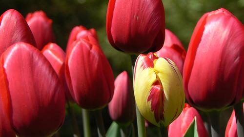 Un tulipan diferente