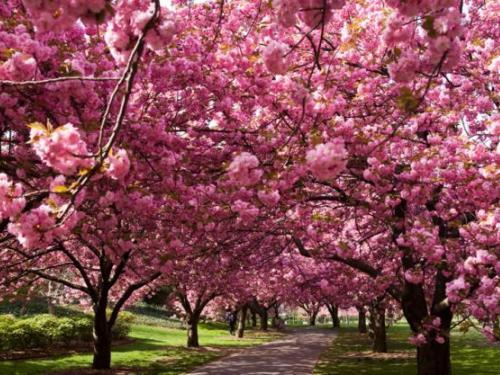 Caminos de Sakura