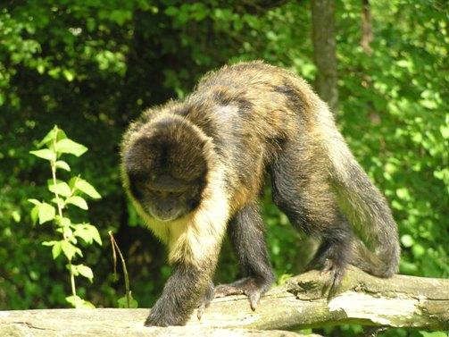 Capuchino mono