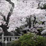 Sakura, bellos cerezos en flor en Japón