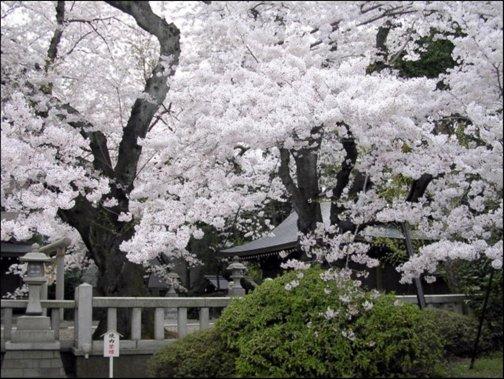 Sakura bellos cerezos en flor en jap n for Arboles para jardin japones