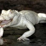 Fotos de un cocodrilo albino en Gran Canaria