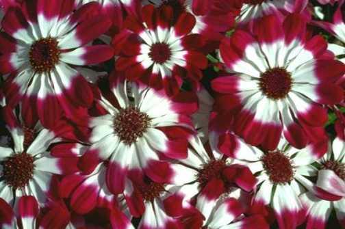 flores moteadas