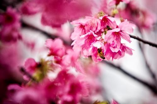 flores de cerezo en japon