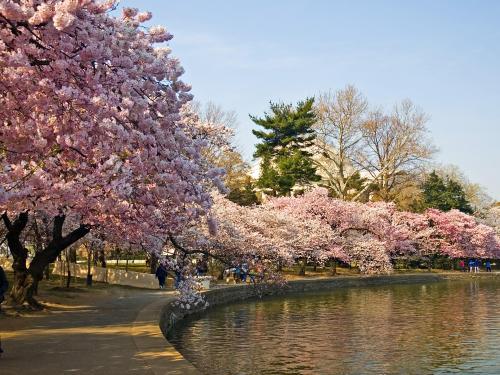 Flores Sakura en Japon